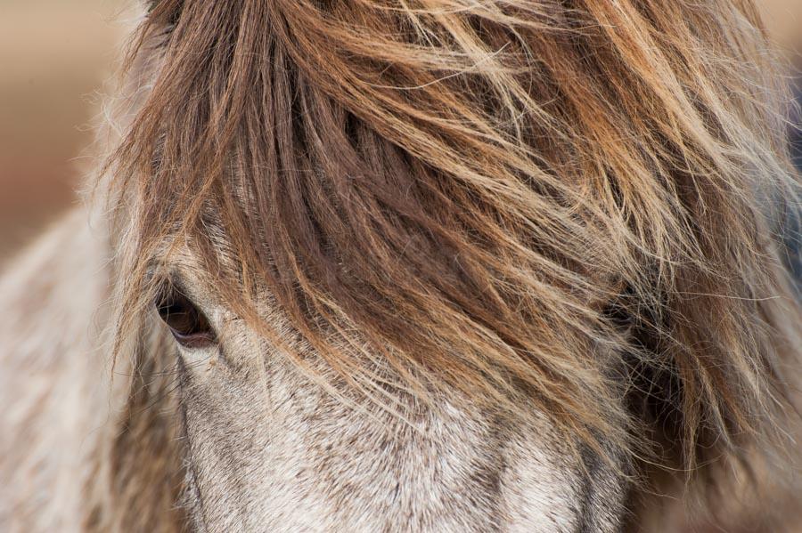 Laufskálarétt - zu Gast beim größten Pferdeabtrieb auf Island. © Jan Bosch